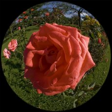 IMG_9097 _Fisheye_rote_Rose_1200.jpg